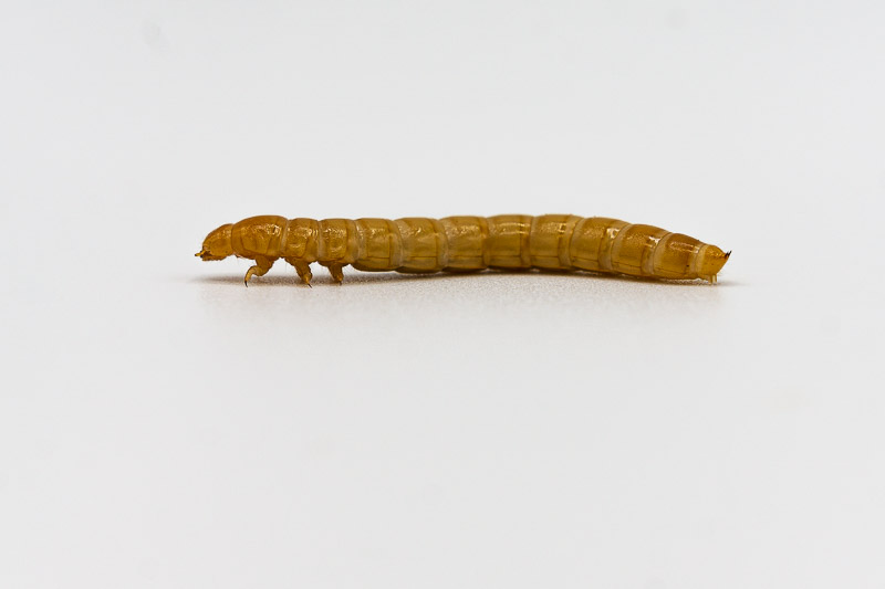Mealworm for Leopard Gecko Feeding