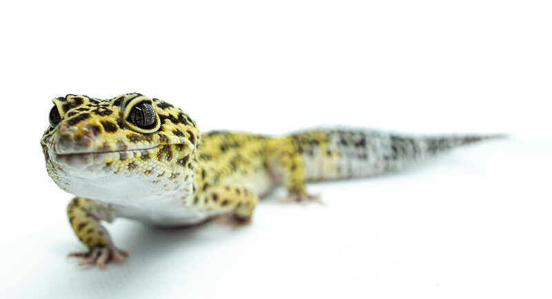 pet leopard gecko isolated on white background