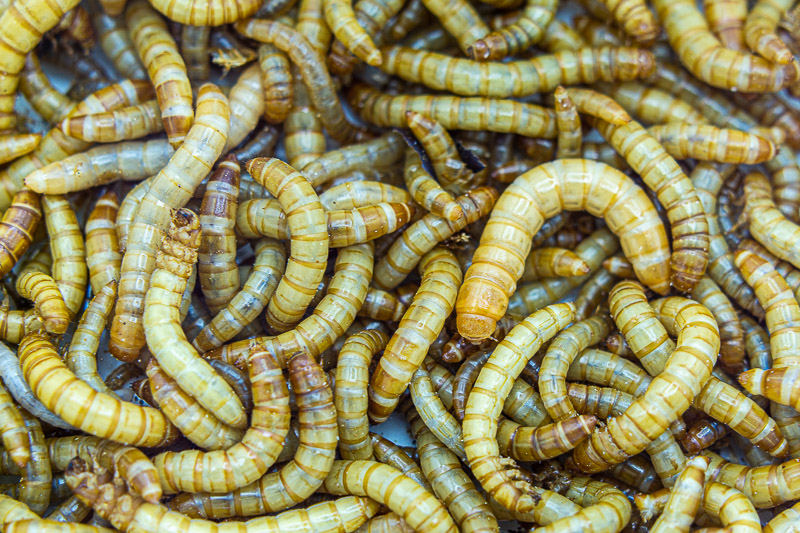 Mealworms for Leopard Gecko Feeding